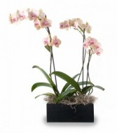 Double Orchid Two 6 inch phalaenopsis orchids in decorative wooden container