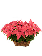 Double Pink Poinsettia Blooming Plant