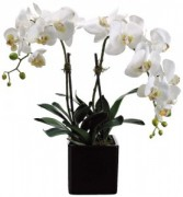 DOUBLE POTTED ORCHID PLANT