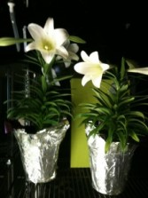 LILIES! Plant with blooms
