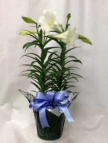 Easter Lily Single or Double Stem Easter Lily