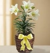 Easter Lily Plant Holiday Bulb Plant