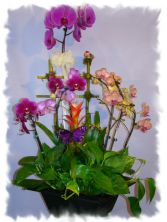 EXOTIC ORCHIDS PLANT