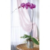 Exotic Purple Phalaenopsis Orchid Indoor Plant