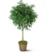 Ficus Tree Also available as bush or with braided trunk