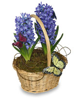 EARLY SPRING HYACINTH 6-inch Potted Plant in Rochester, NH | LADYBUG FLOWER SHOP, INC.