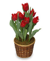 POTTED SPRING TULIPS 6-inch Blooming Plant in Mcleansboro, IL | ADAMS & COTTAGE FLORIST