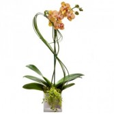 Graceful Memory Orchid Plant