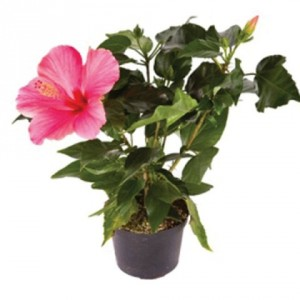 Hibiscus Plant Blooming Plant
