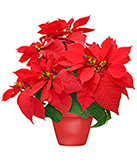 Holiday Poinsettia Blooming Plant