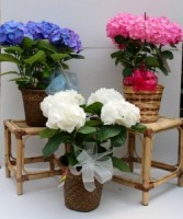 Hydrangea Plant  Blooming Plant