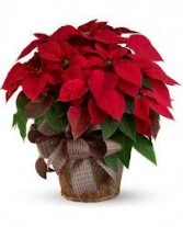 Large Red Poinsettia Chirstmas Plant (T122-3A) in Fairbanks, AK | A BLOOMING ROSE FLORAL & GIFT