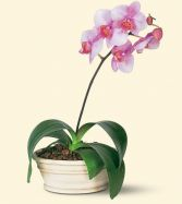 Lovely Lavender Phalaenopsis Orchid in Largo, FL | ROSE GARDEN FLOWERS & GIFTS INC.