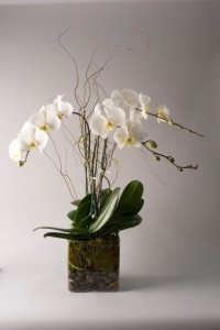 Luxurious Orchid Plant