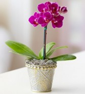 Mini Purple Orchid Plant
