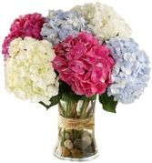 MIXED HYDRANGEA in Clarksburg, MD | GENE'S FLORIST & GIFT BASKETS