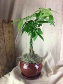 Money Tree Plant - TWO OPTIONS Plant