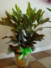 OAK LEAF CROTON