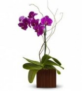BTS 2-Orchid Plant Phalaenopsis orchid plant in a square vase approximately 16
