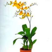 P-07  Potted Orchid