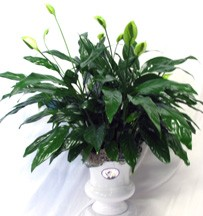 PEACE LILY   in Moore, OK | A New Beginning Florist