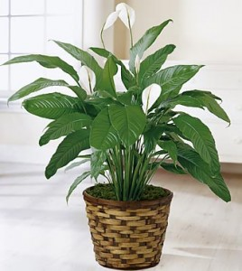 Peace Lily  Plant in Richland, WA | ARLENE'S FLOWERS AND GIFTS
