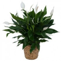 Peace Lily  Spathiphyllum Plant - Small