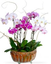 PHALAENOPSIS GARDEN   in Rockville, MD | ROCKVILLE FLORIST & GIFT BASKETS