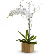 Phalaenopsis Orchid Indoor Plant