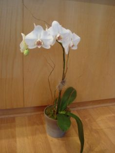 ORCHID PLANT White Phalaenopsis Orchid in Nashville, TN | BLOOM FLOWERS & GIFTS