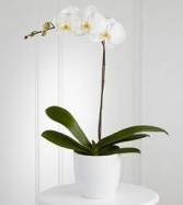 Phalo Orchid Plants