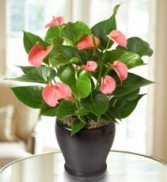 Pink Hearts Anthurium BLOOMING PLANT