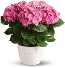 Pink Hydrangea Potted Plant