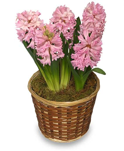 Potted hyacinth 6 inch blooming plant in calgary ab best of buds - Planting hyacinths pots ...