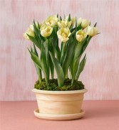POTTED TULIPS  Flowering Bulb Plant