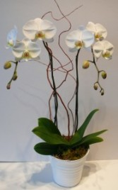 PURE MEMORIES Potted orchid