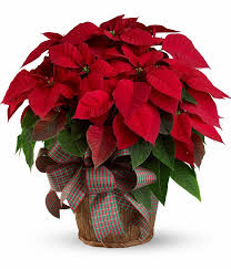 Red Poinsettia Plant in Basket Holiday Plant