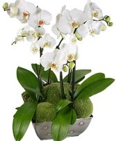 SO CHIC MAJESTIC PHALAENOPSIS ORCHID in Clarksburg, MD | GENE'S FLORIST & GIFT BASKETS