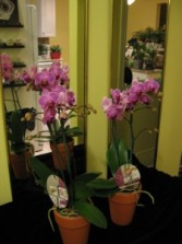 Stunning Orchid Planters Double Spiked Plant