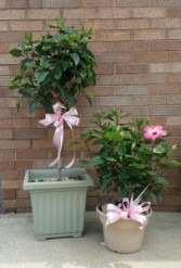 TOUCH OF PARADISE HIBISCUS BUSH OR TOPIARY