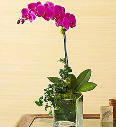 Spring Orchid Plant