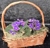 Violets Violets Everywhere Potted Plant