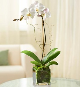 WHITE ORCHID  in Camp Pendleton, CA | CAMP PENDLETON FLORIST