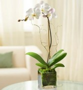 WHITE PHALEANOPSIS in Miami, FL | THE VILLAGE FLORIST