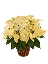 Winter White Poinsettia Blooming Plant