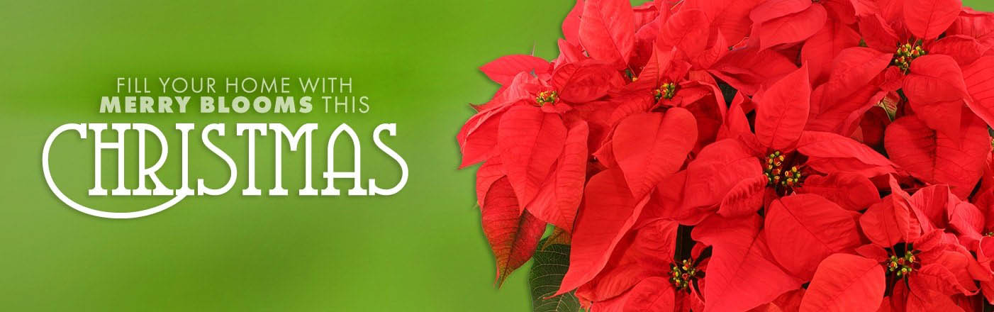 Shop Holiday Flowers Now